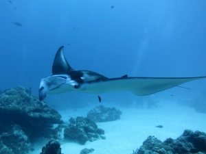 Manta ray at the German Channel cleaning station, taken by our friend Keith on a dive this spring